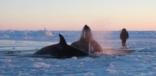 Killer whales trapped under ice in Quebec