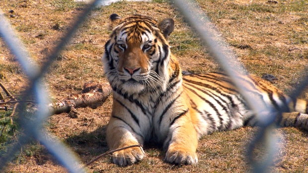 Zookeeper attacked by Siberian tiger at Quebec zoo