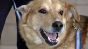 CTV BC: Injured dog gets new leash on life