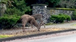 Province gives Oak Bay green light on deer cull