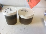 In this undated handout photo provided by NOAA Fisheries, samples of sea water containing a brownish toxic algae sit in labeled jars aboard a research vessel off the Washington Coast. (NOAA Fisheries via AP)