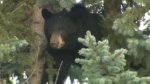 Fish and Wildlife officers were called to the scene outside a home in Woodlands on Tuesday morning after a black bear was spotted in a tree.