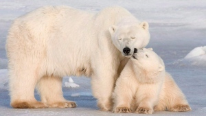 A polar bear cub nuzzles its mother in Wapusk National Park on the shore of Hudson Bay near Churchill, Man. on Nov. 4, 2007.  (Jonathan Hayward / THE CANADIAN PRESS)