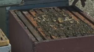 Thieves stole 184 hives containing more than five million bees from the Labonté apiary in St. Valère, near Victoriaville.