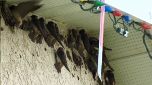 More than a dozen cliff swallows, part of a group numbering in the hundreds, perch on the exterior wall of the McGhee home