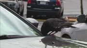 CTV Vancouver: Crow attempts to fly off with knife