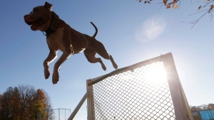 A pit bull clears a hurdle on an obstacle course at K9 school in Stone Ridge, N.Y., Wednesday, Nov.4, 2015. (THE CANADIAN PRESS/AP/Mike Groll)