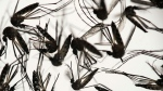 FILE - In this Jan. 27, 2016, file photo, samples of Aedes aegypti mosquitoes, responsible for transmitting dengue and Zika, sit in a petri dish at the Fiocruz Institute in Recife, Pernambuco state, Brazil. (AP Photo/Felipe Dana, File)