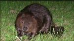 Aggressive beaver