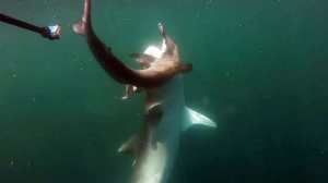 Extended: Tiger shark attacks Hammerhead shark