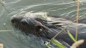 CTV News Channel: Resident on Sask. oil spill