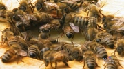 Infected 'zombie bees' invade Vancouver Island