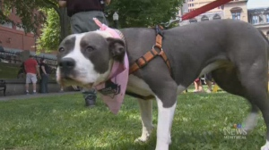 A pit bull is seen on a leash. According to a new Montreal bylaw, all pit bulls must be muzzled on walks.