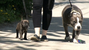 CTV Montreal: City council votes on dogs