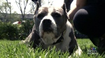 CTV Montreal: Pit bull challenge in court Monday