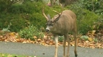 Oh deer: Buck causes highway chain reaction crash