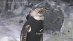 CTV Montreal: Penguins wetsuit