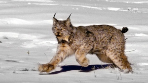 A female Canada lynx is seen heading for the woods after being released near South Fork, Colo. on Feb. 3, 1999. (AP / Jack Smith)