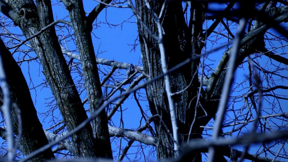 Blue Jay di Quebec