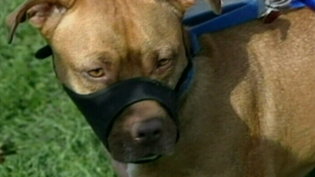 A pit bull is pictured in this file photo from Wednesday, Aug. 15, 2012.